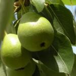 I frutti del frutteto di Vignali